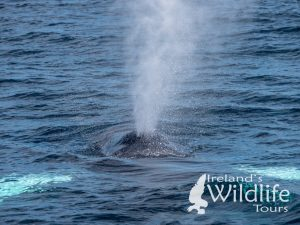Humpback Whale Ireland's Wildlife Tours