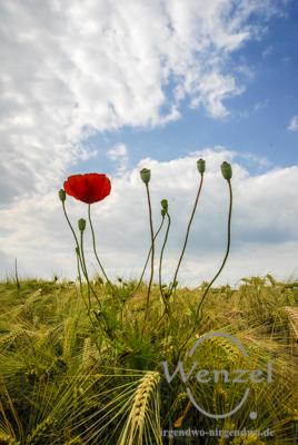 Spaziergang durch herrliche Mohnwiesen - Sinnlichkeit in Rot