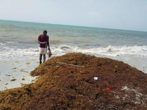 NEPA examining ways of using Sargassum seaweed