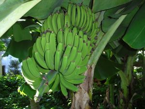Gov't ramps up measures to prevent entry of deadly banana disease into the island
