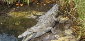 NEPA reiterates habitat advisory following crocodile attack in St Catherine