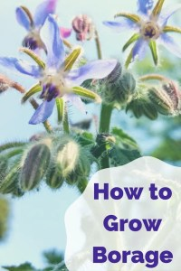 How to Grow Borage