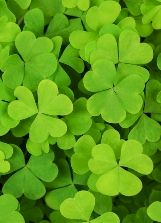 Image result for a bunch of real shamrock