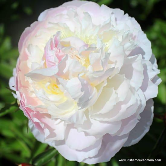 White Peony Rose