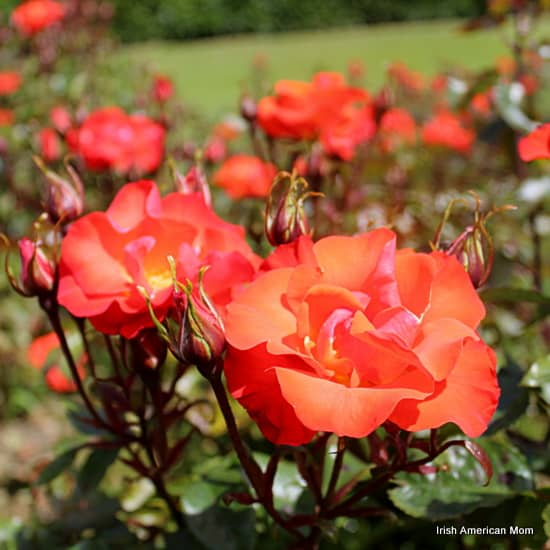 Orange Roses In St. Anne's Park, Raheny
