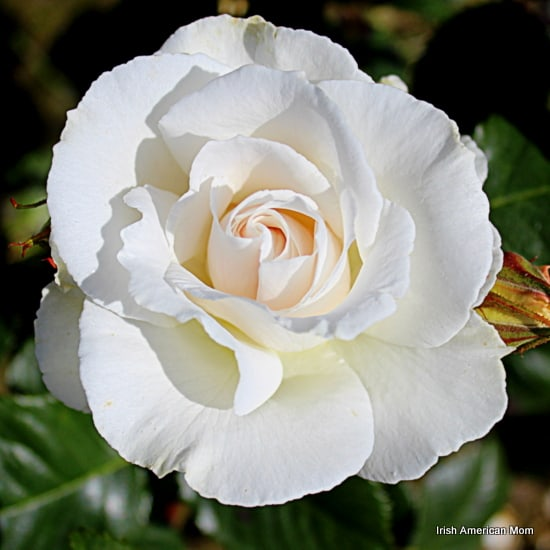 The rose as a symbol of ireland irish american mom white rose in bloom mightylinksfo Image collections