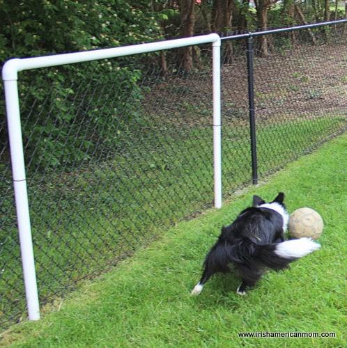 Border Collie Makes a Save