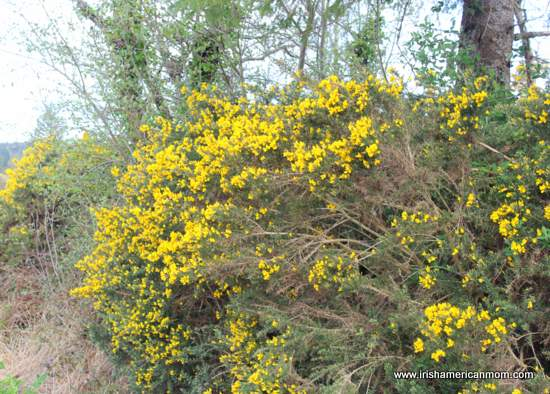 Irish Hedgerow with yellow furze