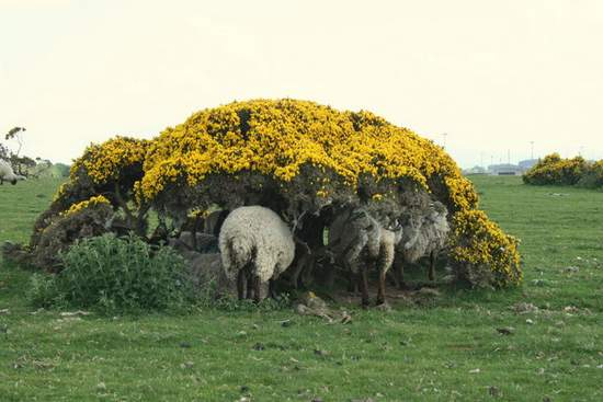 Sheep on curragh taking shade under a furze bush