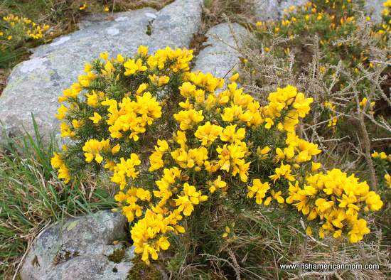 Furze the yellow flower of the irish landscape irish american mom yellow gorse furze or whinn mightylinksfo Choice Image