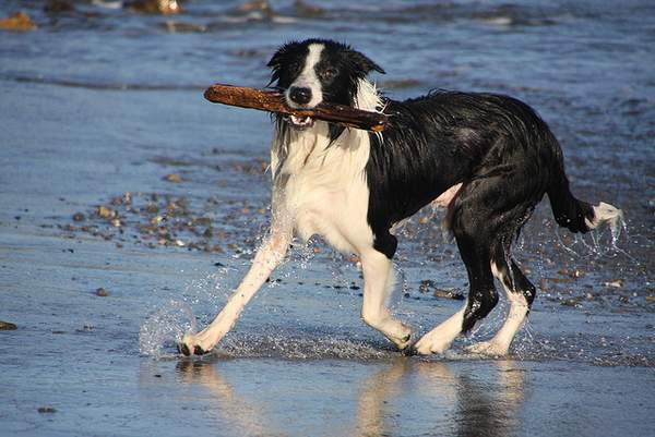 Border collie playing on the shore