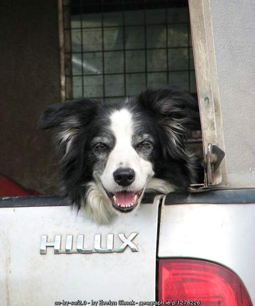 Tired sheepdog in truck