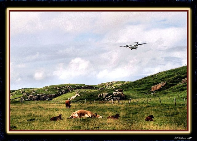 a-cow-resting-as-an-airplane-approaches-to-land-at-donegal-airport-in-carrickfin