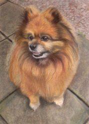 Pomeranian Dog unframed