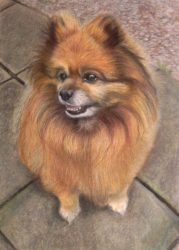 Pomeranian Dog unframed