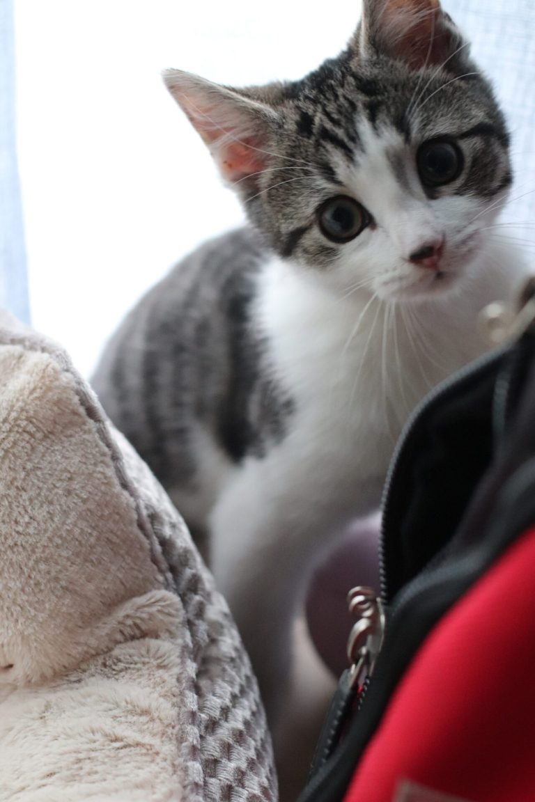 white kitten picture