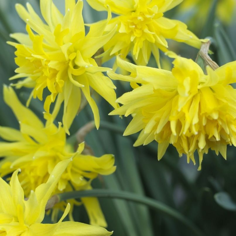 Yellow Spring Flower Crossword Wajiflower