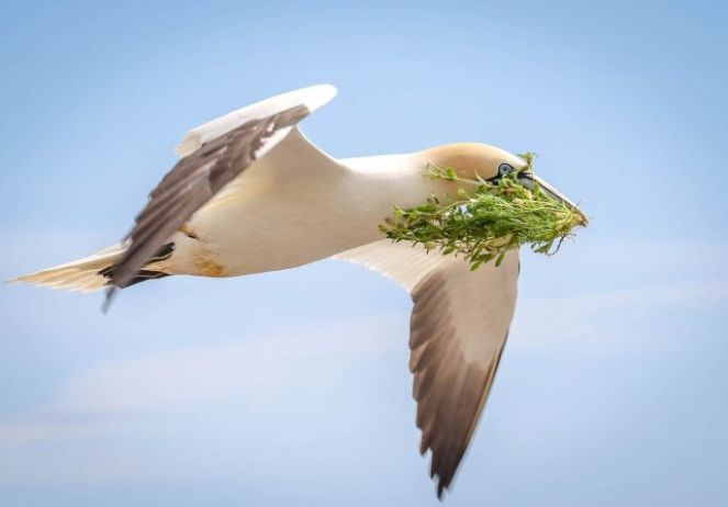 Norther Gannet by Sprog (John Holden), the overall winning image in the IEN Biodiversity Photographer of the Year competition. Taken on the  Great Saltee Island, Co.Wexford of the bird flying back to his mate with an offering of freshly harvested Sea Campion.
