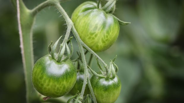 Heirloom tomatoes in Adam Bermingham's greenhouse in Churchtown. Photograph: Crispin Rodwell