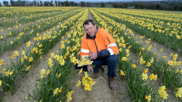Darragh McCullough pictured standing in 75 acres of daffodils in April for a news feature on the impact of Covid-19 on Daffodil Day. Photograph: Alan Betson