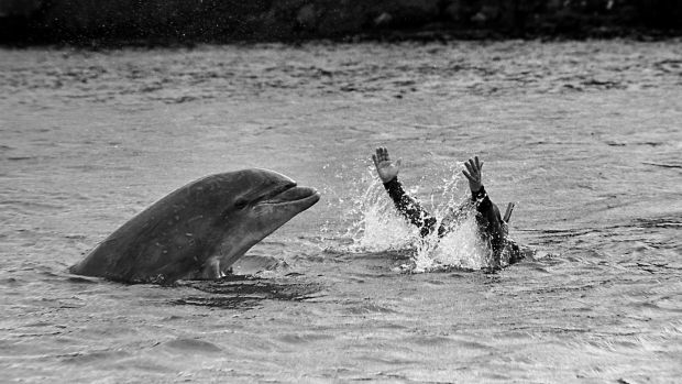 Fungie the DIngle Dolphin taken in 1987 – Published in the Sunday Press in October 1987. Photograph: Ronan Quinlan