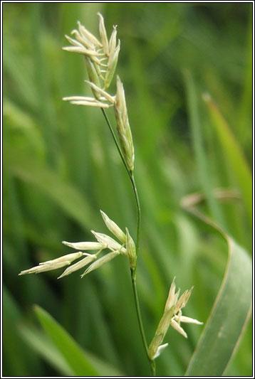 Irish Grasses Floating Sweet Grass