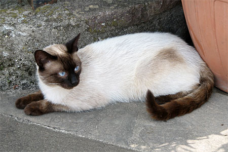Siamese cat in Italy