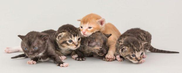 German Rex kittens bij cattery Irusan in Diemen