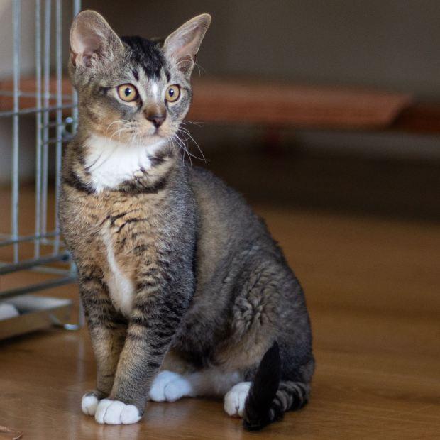 German Rex kater kitten Irusan's Dapper