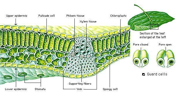 Fotosintesis Fotosintesa Photosintesis
