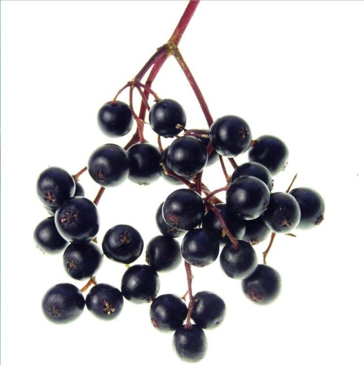 Le sureau est un des fruits de la forêt qui nourrit et qui soigne.