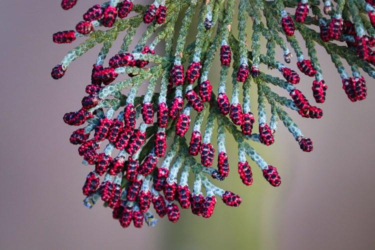 Un thuya en fleurs, un des arbres de la forêt qui soigne