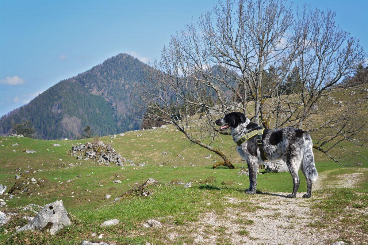 Mika checkt mal die Lage auf der Maureralm - keine Kühe in Sicht!