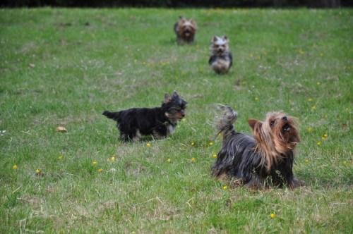 Mit so einer Yorkie-Rasselbande ist immer etwas los: Die drei Yorkshire Terrier von Kellie (hier noch in Begleitung von Welpe Brady). Foto: Yorkshire Terrier Blog