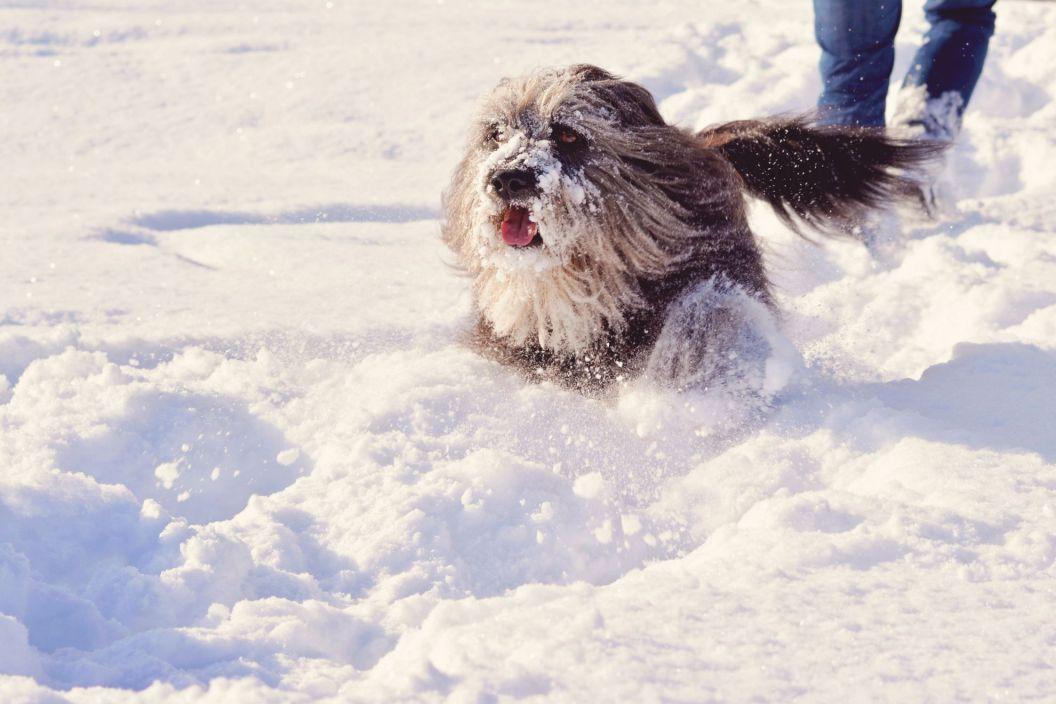 """Gegen Schneeklumpen im Fell helfen Kleidung, Boots oder """"Schmiermittel"""" (wie Vaseline, Melkfett oder Ballistol Animal) an Pfoten und Beinen"""