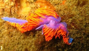 Flabellina iodinea, the Spanish shawl, by Steven Thomas Snyder