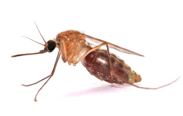 Namibia-mosquito