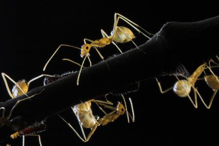 Ants and Aphids_BinuKS