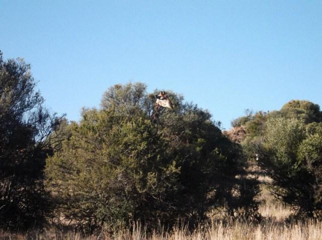 sarah bunney giraffe