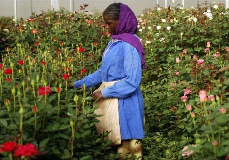 etiopia rose e diritti