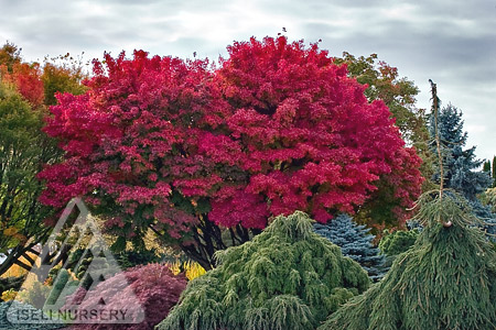 Acer palmatum 'Tobiosho'