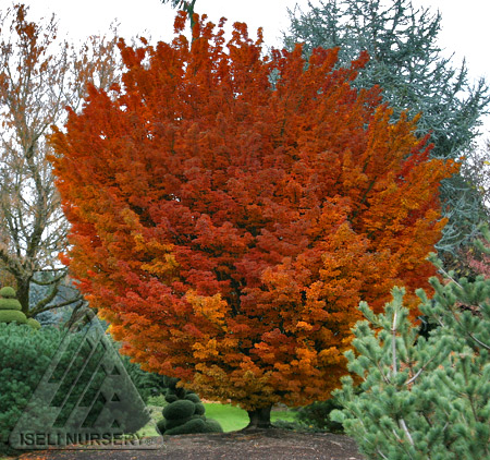 Autumn color of Acer palmatum Shishigashira