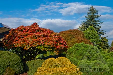 Acer shirasawanum Aureum in the autumn garden