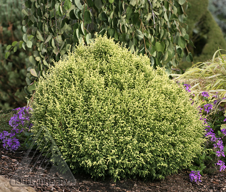 Chamaecyparis pisifera 'Cream Ball'