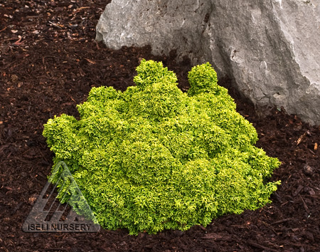 Chamaecyparis obtusa Golden Sprite