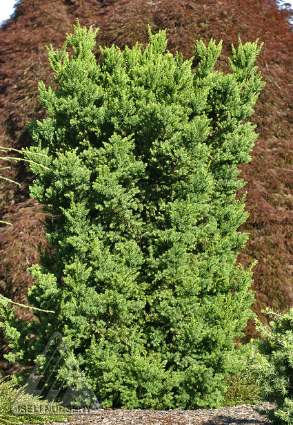 Dear Deer Please Stay Away The Amazing World Of Conifers