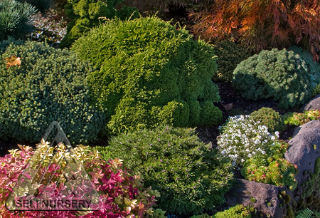 Dwarf conifers and companions fill a small space in the garden