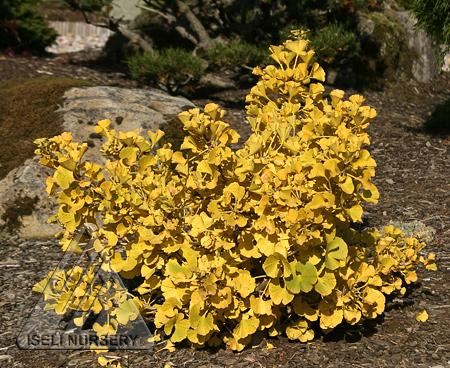 Golden Autumn color of Ginkgo biloba Mariken