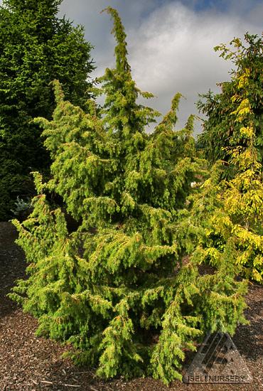 Juniperus communis Kalebab - Summer
