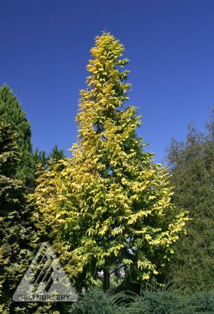 Metasequoia glyptostroboides Gold Rush